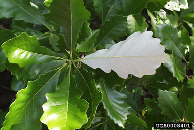 swamp white oak leaf