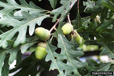 White oak fruit