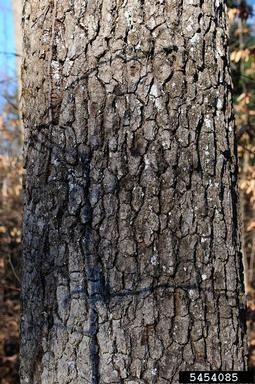 black gum bark