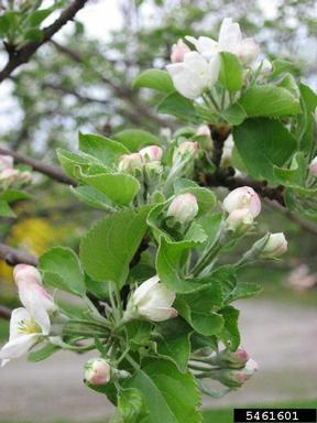 malus flower