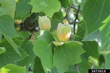 tuliptree flower and leaf