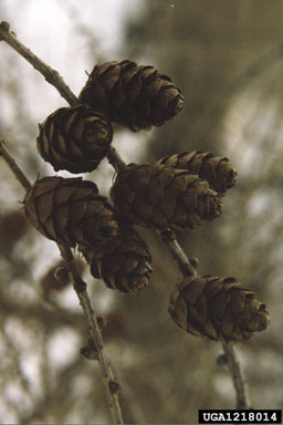 larch fruit