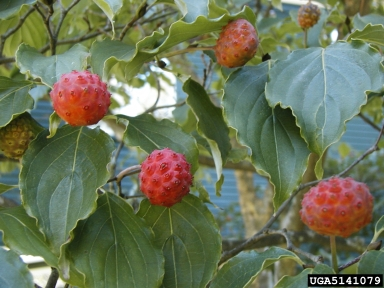 kousa fruit