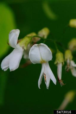yellowwood flower