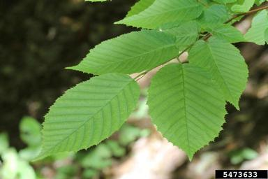 Ironwood leaf