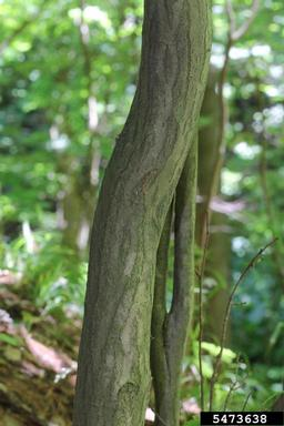 Ironwood bark