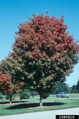 Acer saccharum tree