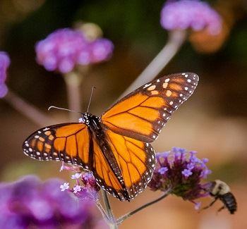 Monarch butterfly on purple flowers with bee